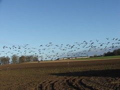 Massive flock of Pink-Footed Geese take off ( Claire ) Tags: geese norfolk beet anser sugarbeet pinkfoot pinkfootedgoose anserbrachyrhynchus rollesby pinkfootedgeese