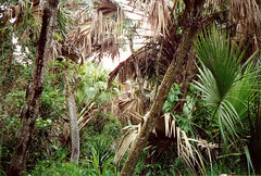 Sabal Palm Grove Sanctuary, near Brownsville (texastravel) Tags: rio landscapes grande scenery texas natural grove landmarks palm valley brownsville audubon sabal
