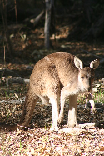 Yanchep National Park - Kangaroo