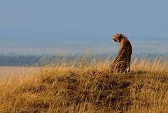 Cheetah at Sunset, Maasai Mara, Kenya