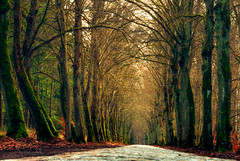 Avenue in the forest (Aleoko) Tags: fotocompetition fotocompetitionbronze 15challengeswinner