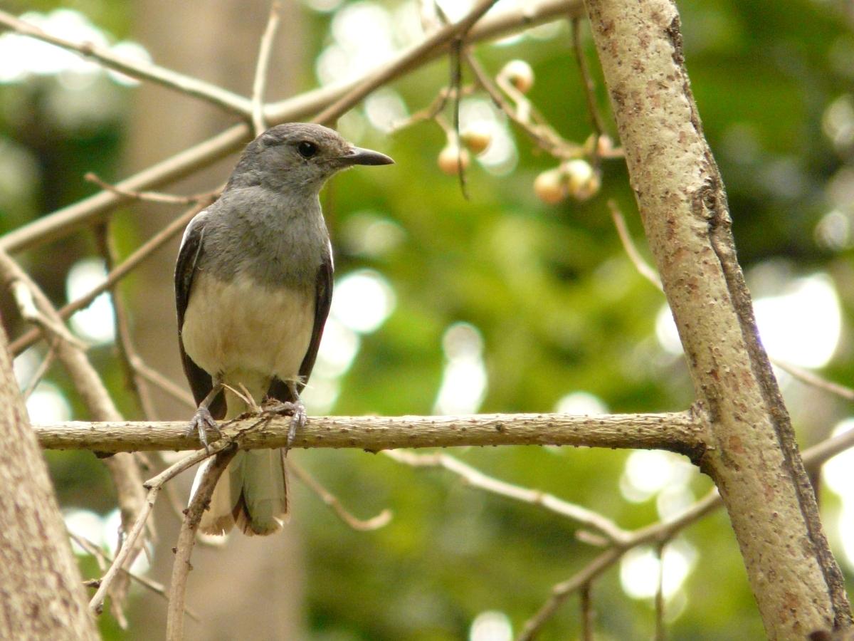 Female Oriental Magpie Robin (Copsychus saularis) - 鵲鴝