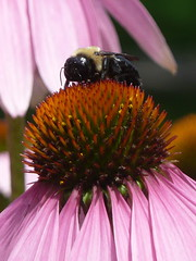Bumble bee on purple coneflower