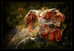 Nature's wedding veil (Kugarth) Tags: autumn light shadow red favorite orange brown white plant black flower color colour macro green texture nature beautiful beauty up rose yellow closeup sepia bronze digital photoshop canon garden dark dead photography eos spider photo leaf petals nice interesting flora focus rust pretty close veil view image blossom bokeh background web vivid romania frame bloom botanic fav 1785mm comment wilt faved 70mm 40d canoneos40d dragondaggerphoto dragondaggeraward magicunicornverybest magicunicornmasterpiece