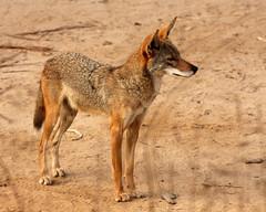IMG_2229_1 (jb4boz) Tags: coyote nature chica wetlands bolsa digitalcameraclub