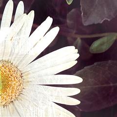 (FotoRita [Allstar maniac]) Tags: life italy flower colors digital canon daisy fiore myfavourites margherita byfotorita canonpowershotg10