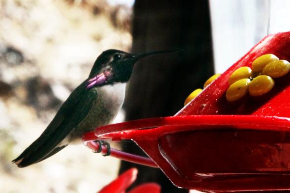 315_calliopeHummingbird