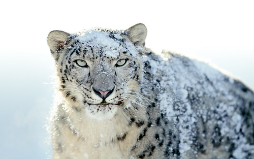 Snow Leopard and BOD · Snow Leopard Wallpaper
