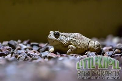 KH0909 0065WM Toad