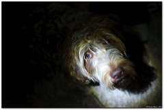 Rubis Couleur Tapis (meehanf) Tags: dog chien spot led wirehaired griffon corthal