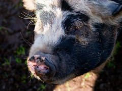 baby pig (retrogoth) Tags: animal pig animalpark dumfries galloway monreith