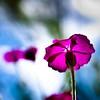 "(tommatsch (New Gallerys""Noisy & EOS"")) Tags: pink flowers blue sky flower macro green nature garden flora bokeh magenta rosa cologne himmel blumen köln micro 60mm blau nikkor d90 nautr superaplus aplusphoto nikond90 tommatsch"