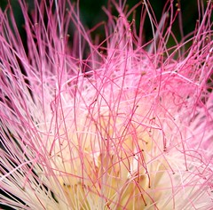 This tangled pink mess is a mimosa (aka silk tree) flowering head (Martin LaBar) Tags: pink flowers macro beautiful flor southcarolina rosa lovely fabaceae mimosa bello primerplano albiziajulibrissin pickenscounty 5for2 platinumphoto carolinadelsur