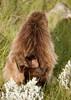 20090901-IMG_1643 (Robin100) Tags: africa animal mammal baboon ethiopia primate baboons gelada geladababoon guassa guassaplateau