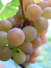Pinot Gris Blanc Soft (cosmolino) Tags: grain trauben rebberg cosmolino