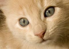 20080903_9999_65b (Fantasyfan.) Tags: pet macro cute face animal topv111 closeup tag3 taggedout nose eyes topv333 kitten tag2 tag1 tabby small outofframe fantasyfanin fluffu pixeli fyrry highqualityanimals