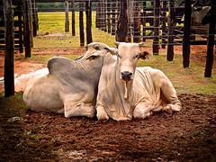 Leilo de gado (zeluiz.guerreiro) Tags: cerca boi curral gado leilo cocheira