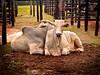 Leilão de gado (zeluiz.guerreiro) Tags: cerca boi curral gado leilão cocheira