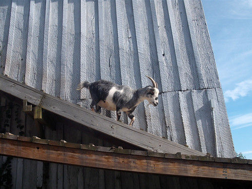 Goat catwalk