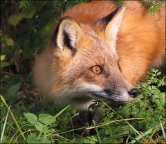 (Sarah-Vie) Tags: nature fox animaux renard parcriviresdesprairies