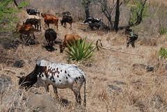 Nani et son troupeau (x3401) Tags: reunion cow shepherd vache berger troupeau ledelarunion