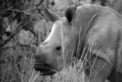 Baby Rhino (Chris McLoughlin) Tags: africa wild holiday nature closeup southafrica day wildlife sony yorkshire safari rhino tamron krugernationalpark kruger a300 70mm300mm jocksafarilodge sonya300 tamron70mm300mm sonyalpha300 alpha300 chrismcloughlin