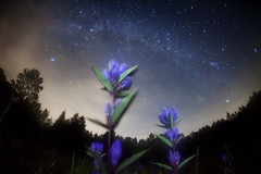 gentian of  Milky Way railroad (masahiro miyasaka) Tags: blue autumn japan night canon stars wonder iso3200 star searchthebest september fisheye galaxy astrophotography  technique  gentian blueflower oneshot milkyway gentiana   cassiopeia  sigma15mmf28exdgfisheye   eos5dmark  milkywayrailroad