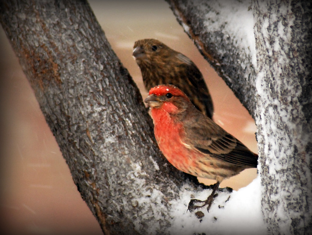 Male and female house finch in snow tree