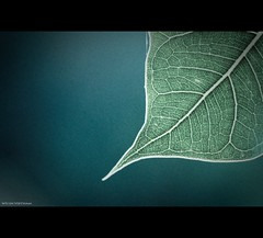 Vietnam | Hue city: Explore leaf map~ (Vu Pham in Vietnam) Tags: macro green texture nature design leaf pattern dof bokeh map walk candid details line vietnam explore hue indochina hu canon500d vitnam hu thiennhien raininvietnam commentwithimageswillbedeletedsosorryforthis