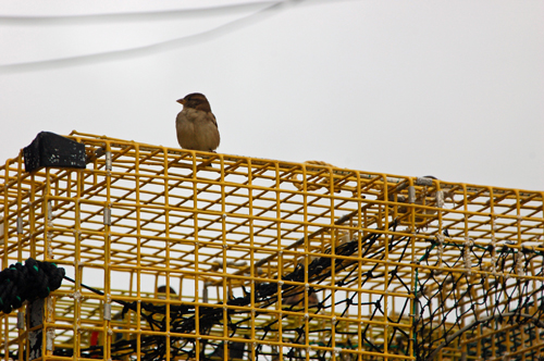 7bird-perch-lobster-trap.jpg