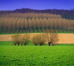 Man made landscape (paul indigo) Tags: trees green nature square landscape rows fields willows symetery