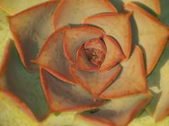 Bejeque (Aeonium hierrense) (Fernando Coello Vicente) Tags: plant macro planta lapalma bejeque aeoniumhierrense