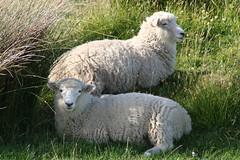 New Zealand - sheeps (Lorenzo Baldini) Tags: newzealand sheep pecora nuovazelanda