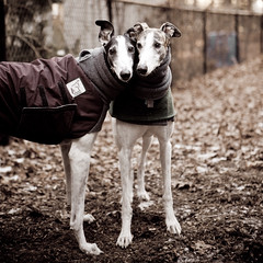 Helo and Smokey (teenytinyturkey) Tags: greyhound dogs fun play massachusetts racing melrose retired greyhounds tobin bostonist saugus resuce wwwgreyhoundwelfareorg