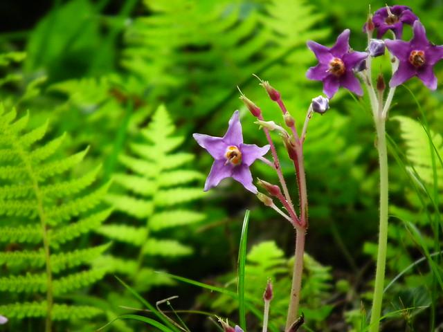 イワタバコ (gesneriaceae)