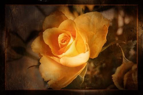 rose nostalgia