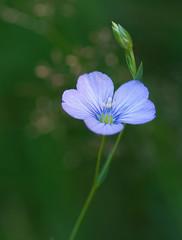 Linum bienne (Sinkha63) Tags: france flower macro fleur prairie wildflower corrèze bleue flore limousin blueflower beynat linaceae paleflax eté pgt linumbienne linacées collectionnerlevivantautrement linàfeuillesétroites linbisannuel annesorbes