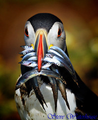 PUFFIN WITH SANDEELS #1 (spw6156) Tags: copyright island blog searchthebest no steve puffin ayr waterhouse photoqueen skomer sandeels specanimal animalkingdomelite frailecillo perfectangle aplusphoto avianexcellence theunforgettablepictures excapture 100commentgroup vosplusbellesphotos hairygitselite superstarthebest spw6156 luxtop100 stevewaterhouse waterhouse copyrightstevewaterhouse ayrc0401 flickrstruereflection1 allofnatureswildlifelevel1 allofnatureswildlifelevel2 allofnatureswildlifelevel3 flickrsfinestimages1 flickrsfinestimages2 flickrsfinestimages3