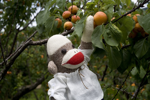 apricot farm