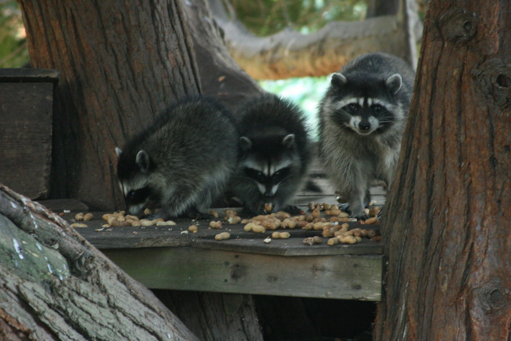 Raccoons in University Place, WA - taken by Matt Sweet