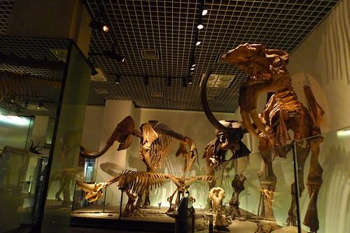 Two mammoth skeletons in background and some others