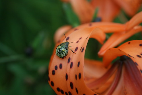 immature stink bug