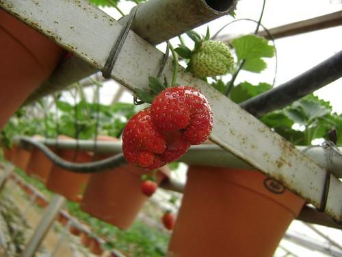 Double Strawberries