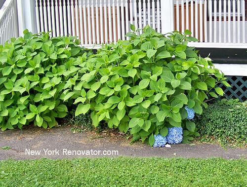 Non Blooming Hydrangeas