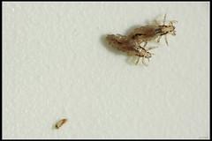 Head louse - ???? ???? by Eran Finkle