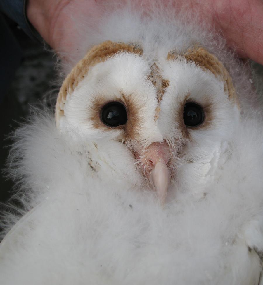 Barn Owl chick