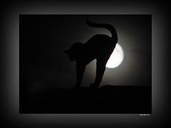 Die Katze auf dem kühlen Ziegeldach mit Vollmond - Cat on the hot brickroof with full moon (2)