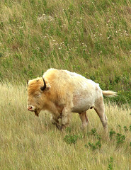 Rare White Buffalo - Sacred to Native Americans (William  Dalton) Tags: buffalo northdakota bison whitebuffalo