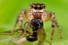 Jumping Spider with its delicious dinner (Flying Ant) (xbn83)
