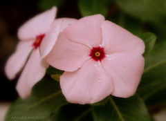 Vinca rosea (Artondra Hall) Tags: maryland flowers sonydslra100 exposure0008sec1125 aperturef63 focallength70mm isospeed100 picasa artondrahall projectart69 artondra artondrahallphotography wwwartondrahallphotographycom baltimore photography artist httpwwwredbubblecompeopleprojectart69 pse60